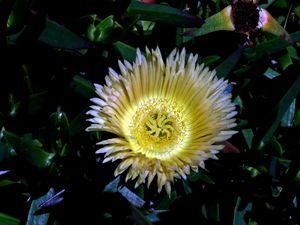 Califormia Anemone