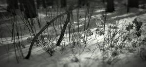 Hydrangea in snow