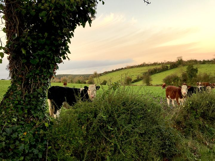 French cows - BoboWorks