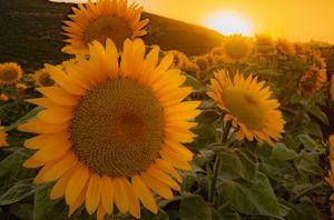 Sunset in sunflowers field