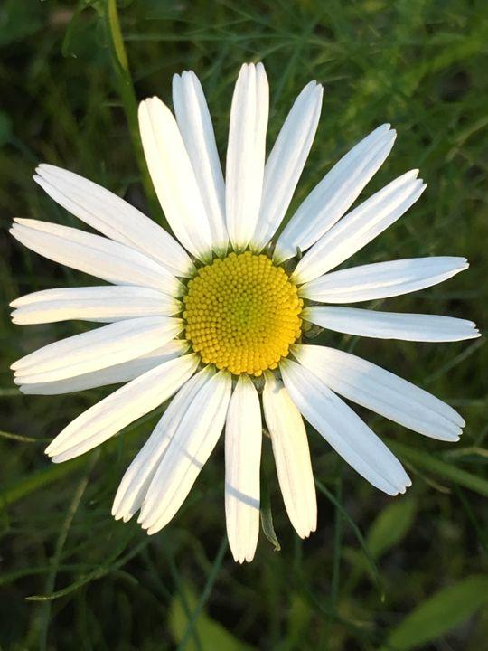 Daisy - Elizabeth Clark