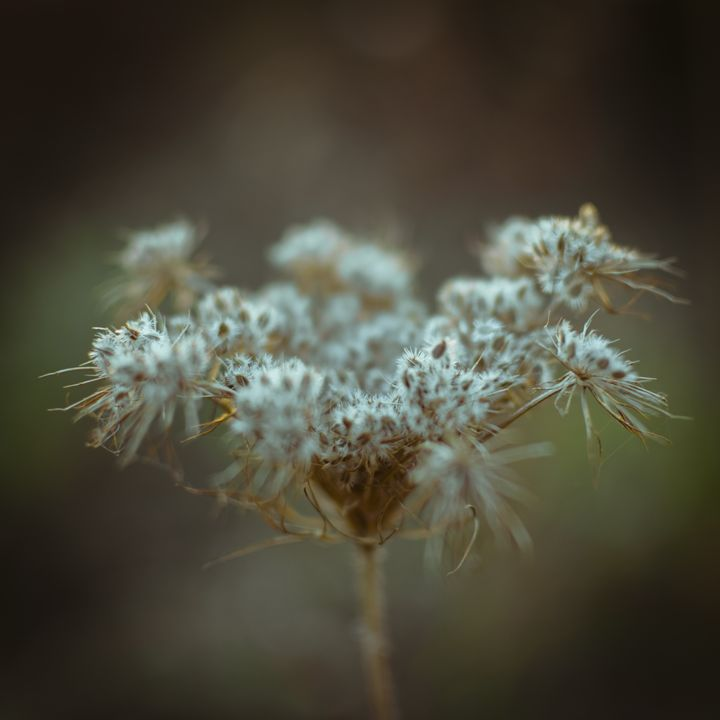 Fluffy white weed closeup - Vlad Baciu Photography