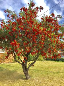 The Bottlebrush Abundance