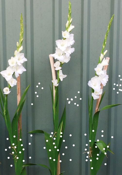 A Gladioli Moment - Dare to be different