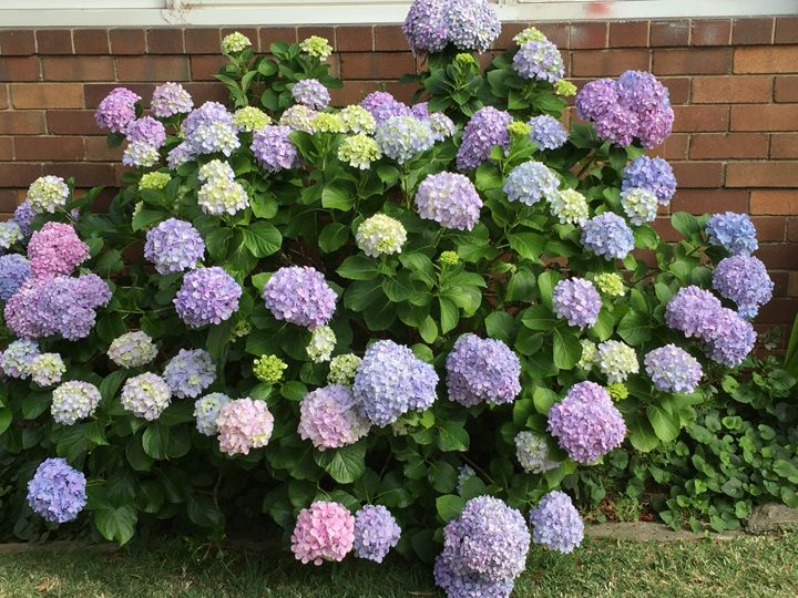 My Hydrangeas time to shine - Dare to be different