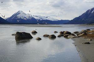Chilkat Gulls