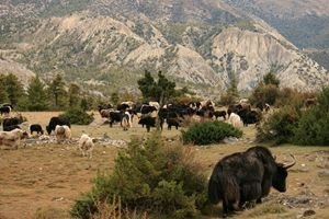 A herd of Yaks, Northern Nepal.