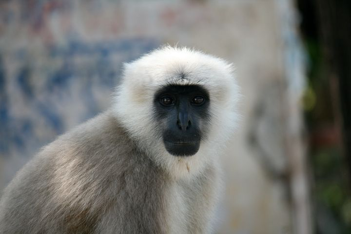 Langur Monkey, Rishikesh, India - Dano Vukicevich Photography