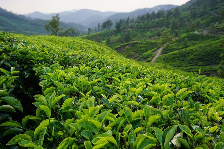Kerala Tea Fields - Dano Vukicevich Photography
