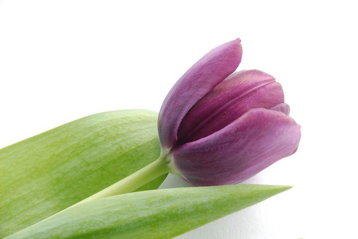Tulip - Heliosphile