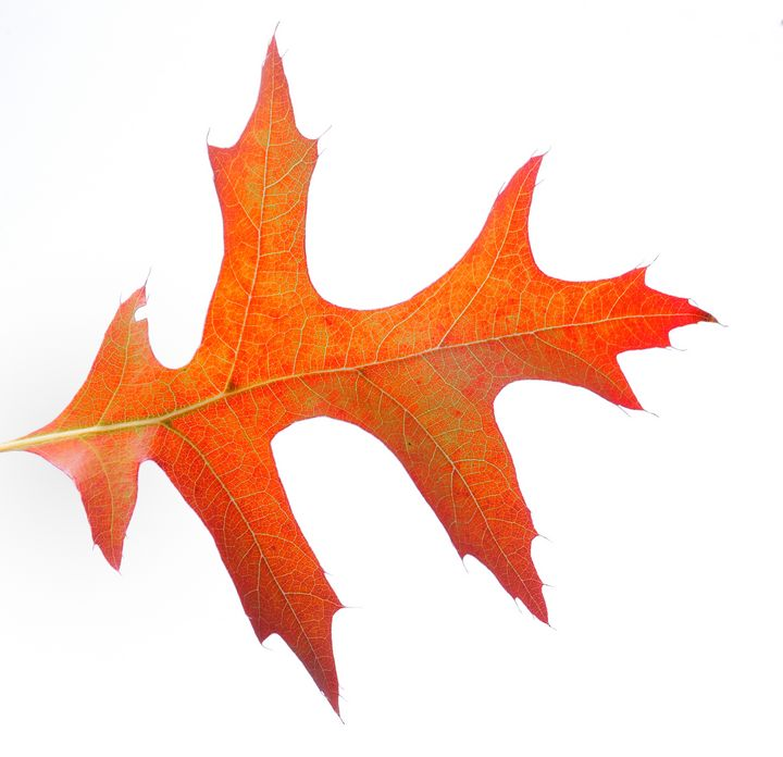 Leaf on a white background - Heliosphile