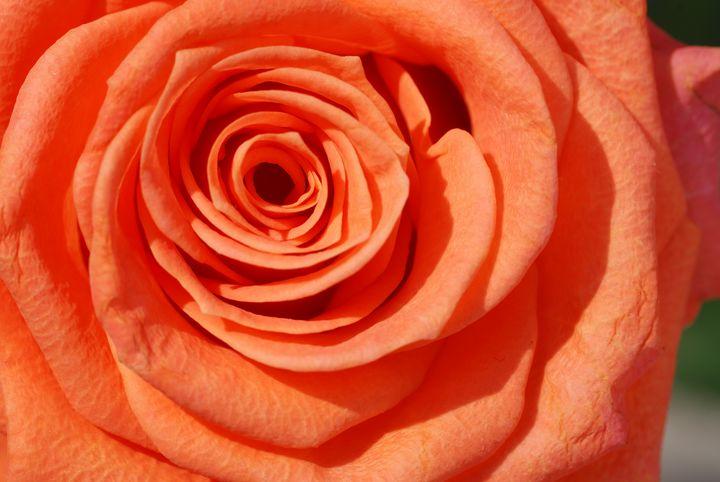 Red Rose - Heliosphile