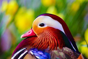 Duck Delight - PeachPanda Photography