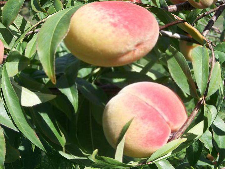 Peaches - jilljj