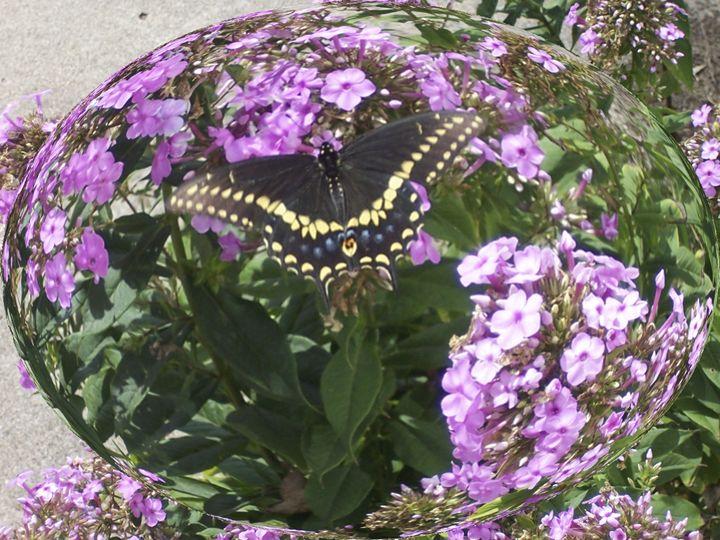 Butterfly in Phlox Globe - jilljj