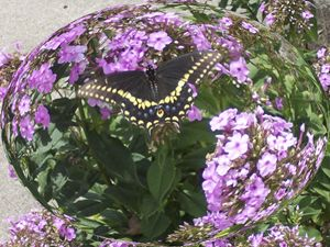 Butterfly in Phlox Globe