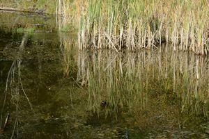 Reeds Reflecting