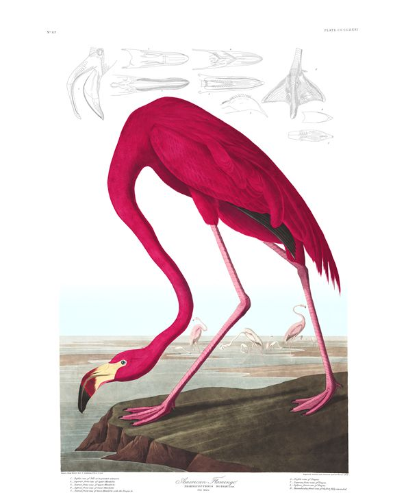 American Flamingo -  Yauchan