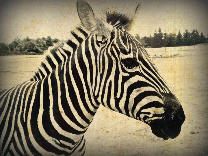 Faded Stripes - Kangaroo