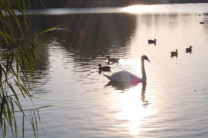 Swan - Zerlinda