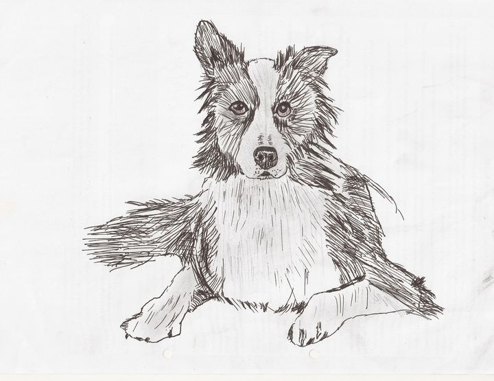 border collie - Tony Antoniou