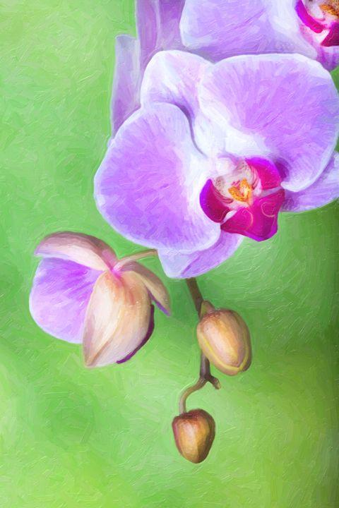 Moth Orchid - Foto Safari