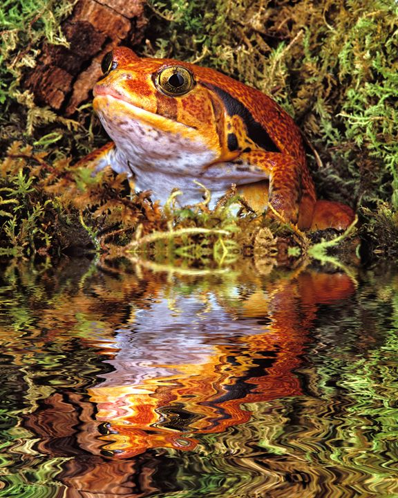 Tomato Frog - Foto Safari