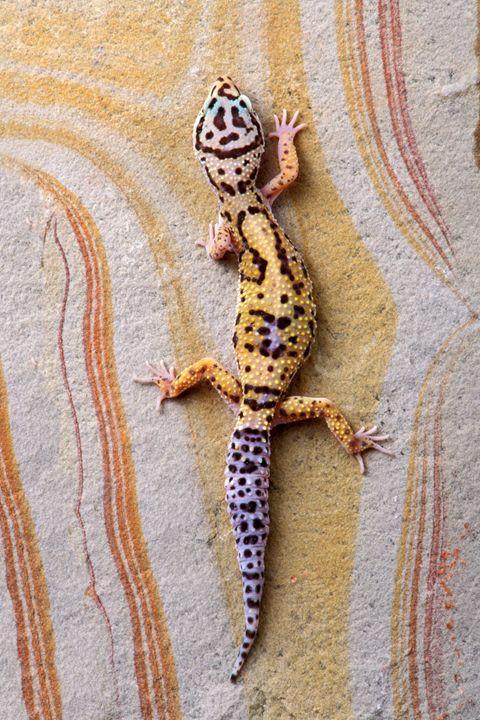 Leopard Gecko - Foto Safari