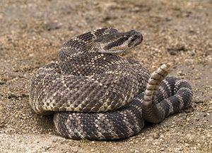 Pacific Rattlesnake