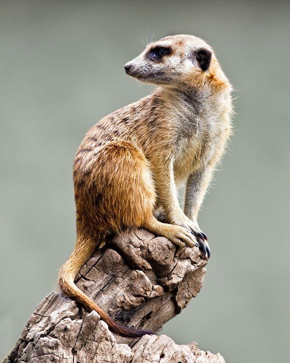 Meerkat - Foto Safari