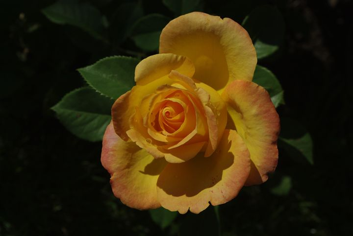 Yellow Rose - Pure Joy Photos