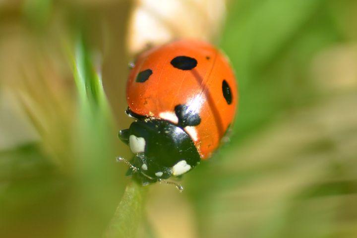 Ladybird - Deborah Rawles Art and Photography