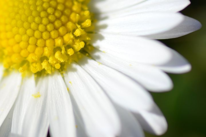 Daisy - Deborah Rawles Art and Photography