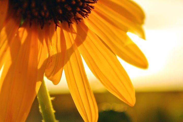 Sunflower Mornings - Hannah Farkas