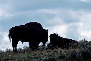 Where the Buffalo Roam - Nena Trapp Photography