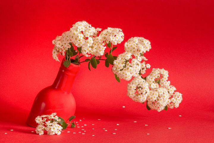 Spiraea white flowers on coral red - Cristina Velina