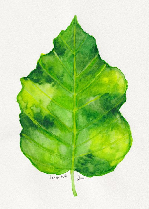 Beech leaf - Diane Messer Gallery