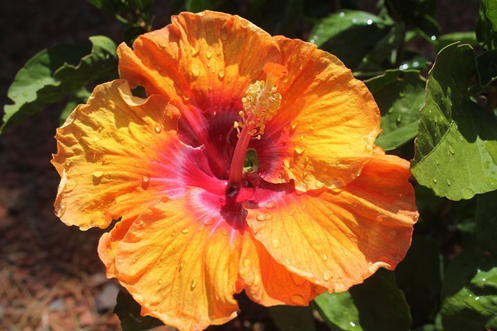 Water droplet hibiscus - As Imagined Photography