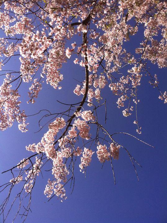 Azalea's in Spring - Nancy Kensill-Grubb