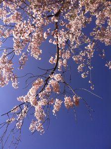 Azalea's in Spring