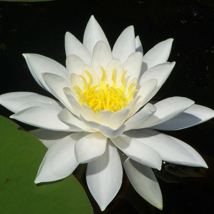 Water Lily or Lotus Flower - Izzy