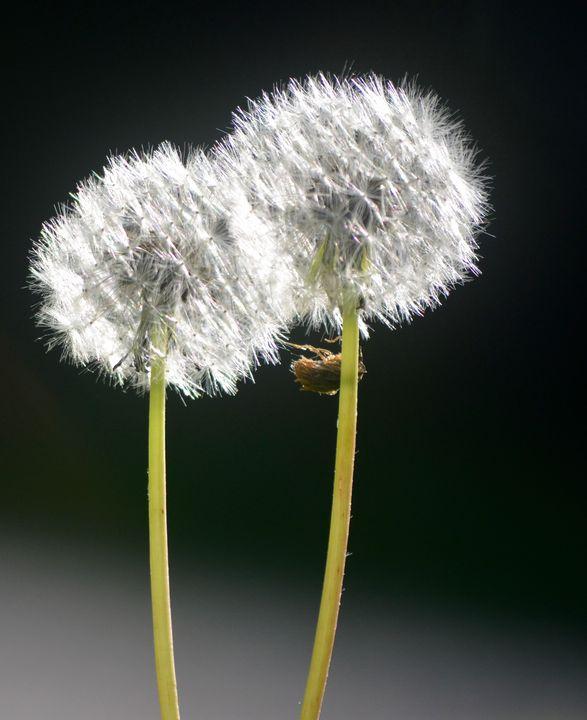 Dandelion - Nancy Kensill-Grubb