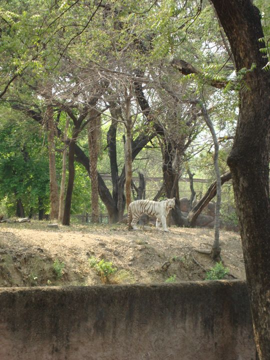 white tiger - Divine art