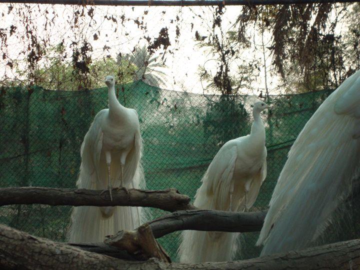 white peacock - Divine art
