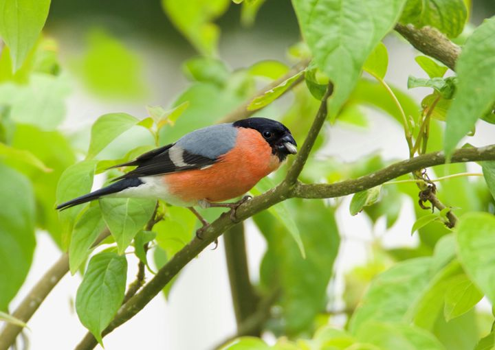 bullfinch - Ernst Art