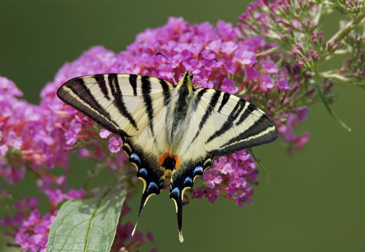 Scarce Swallowtail - Ernst Art