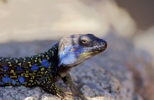 Northern Tenerife Lizard