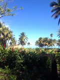 4x5 Palm Tree image Puerto Rico