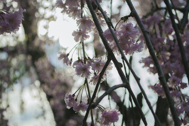 Blossom III - Sunflower Photo