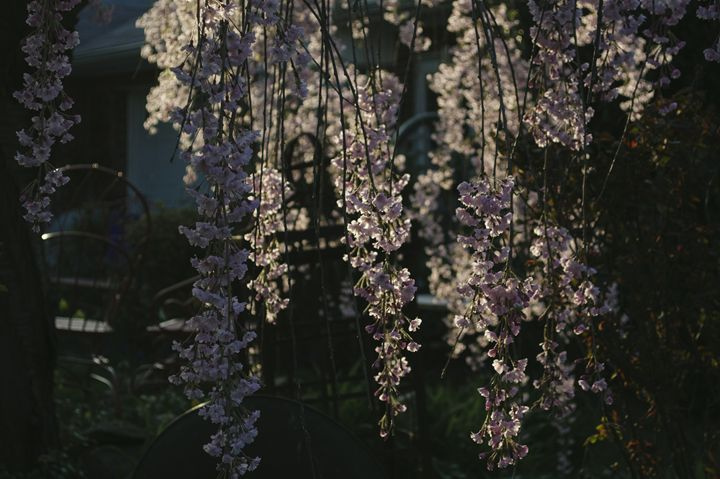 Blossom II - Sunflower Photo